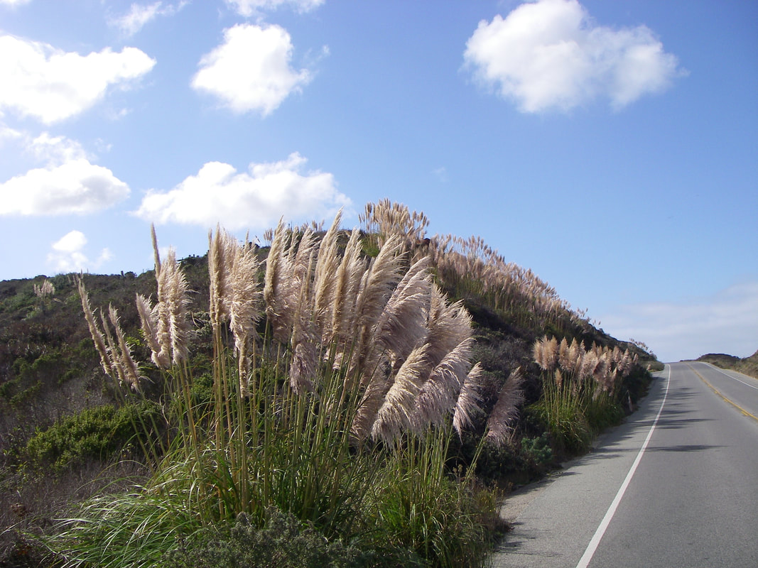 Many bunches of pampas grass on a road-side hill.