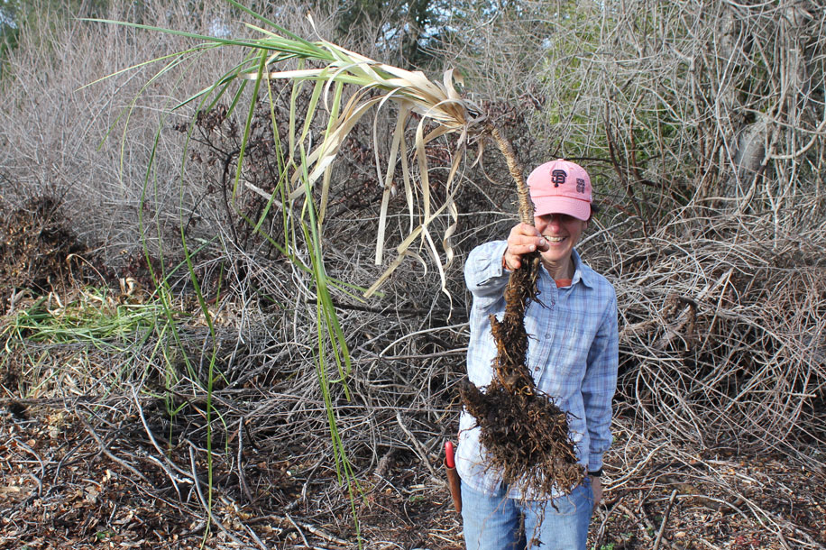 Volunteer smiling while holding pampass grass plant removed near Lower Reservoir in Cuesta La Honda.